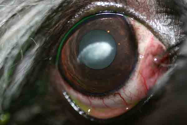 The resultant corneal opacities consist of cholesterol, phospholipids, and/or fatty acids.