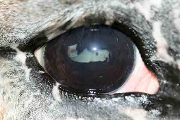 Insidious ERU in the right eye of an Appaloosa horse.