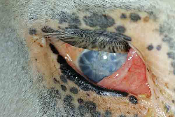 Phthisis bulbi in the right eye of an Appaloosa horse with insidious ERU.