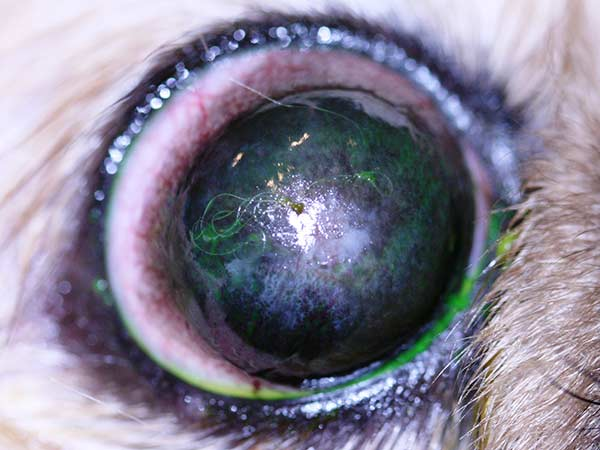 Corneal pigmentation in the right eye of a Shih-Tzu with a normal Schirmer tear test value of 20 mm/min.