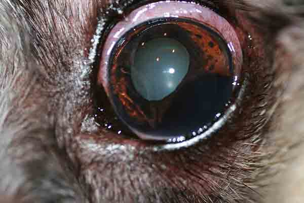 Preoperative iris melanocytoma in the left eye of an 11-year-old spayed female dog.
