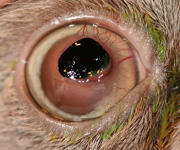 A corneal sequestrum on the right eye of a 5 year old castrated male Himalayan cat.