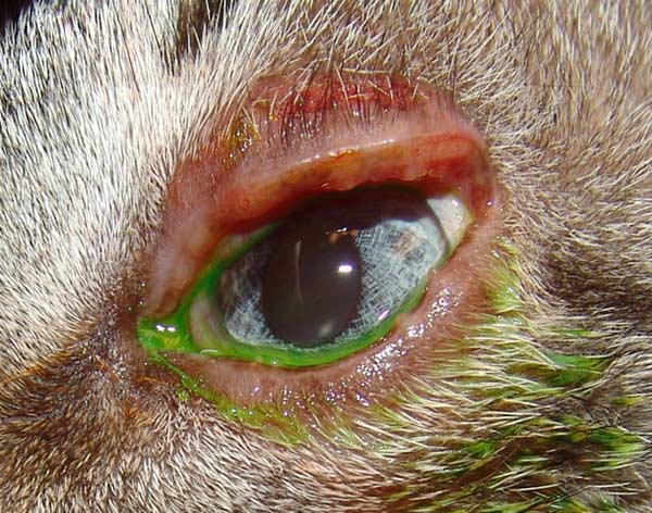 Blepharitis in the left eye of a 3 year old castrated male domestic short-haired cat.