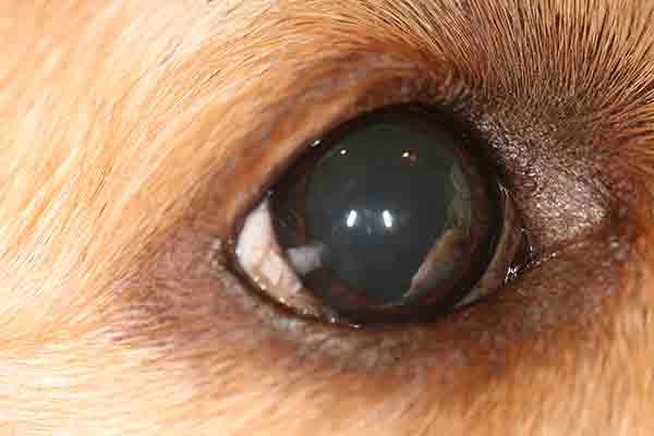 Iridociliary cysts seen in the nasal posterior chamber of the right eye of 5-year-old female spayed Golden retriever.